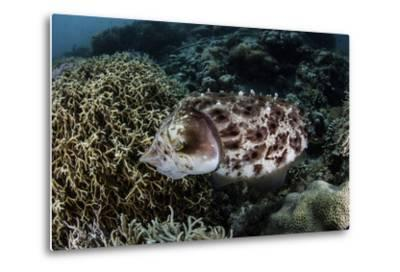 A Broadclub Cuttlefish Lays Eggs in a Coral Colony-Stocktrek Images-Metal Print