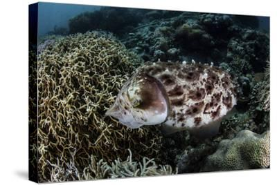 A Broadclub Cuttlefish Lays Eggs in a Coral Colony-Stocktrek Images-Stretched Canvas Print