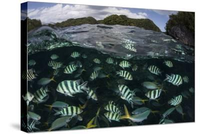 School of Large Damselfish in Palau's Inner Lagoon-Stocktrek Images-Stretched Canvas Print