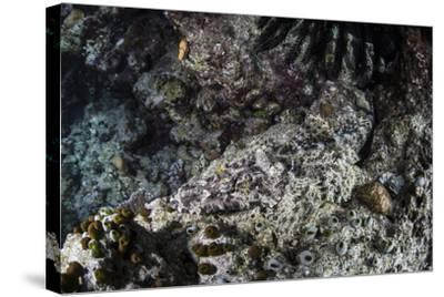 A Crocodilefish Lays on the Seafloor in the Solomon Islands-Stocktrek Images-Stretched Canvas Print