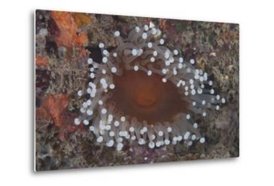 Sea Anenome in the Beqa Lagoon Reef, Fiji-Stocktrek Images-Metal Print