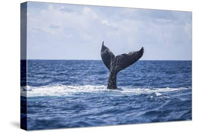 A Humpback Whale Slaps its Tail on the Surface of the Atlantic Ocean-Stocktrek Images-Stretched Canvas Print