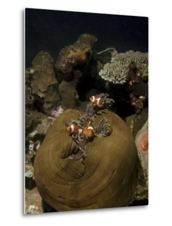 Anemonefish in their Host Anemone, Lembeh Strait, Indonesia-Stocktrek Images-Metal Print
