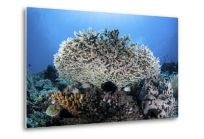 A Table Coral Grows on a Beautiful Reef Near Sulawesi, Indonesia-Stocktrek Images-Metal Print