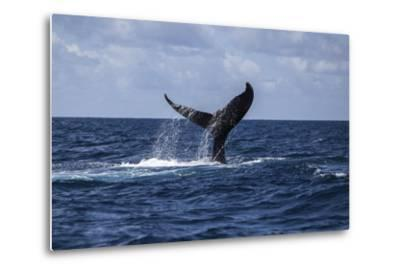 A Humpback Whale Slaps its Tail on the Surface of the Atlantic Ocean-Stocktrek Images-Metal Print