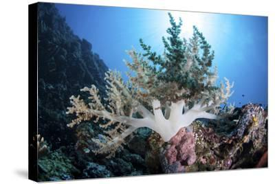 A Soft Coral Colony Grow on a Reef Near the Island of Sulawesi-Stocktrek Images-Stretched Canvas Print