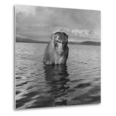 Rhesus Monkey Sitting in Water Up to His Chest-Hansel Mieth-Metal Print