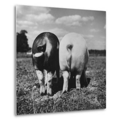 Rear View of Black Hog, with Overweight, White Hog, at Department of Agriculture Experiment Station-Al Fenn-Metal Print