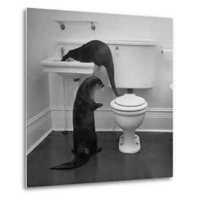 Otters Playing in Bathroom-Wallace Kirkland-Metal Print