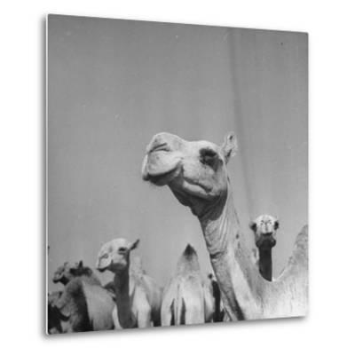 Camels Being Sold at Animal Market-Bob Landry-Metal Print