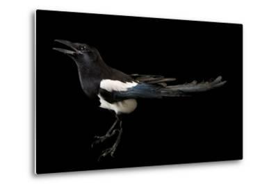 American Magpie, Pica Hudsonia.-Joel Sartore-Metal Print