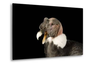 Andean Condor, Vultur Gryphus.-Joel Sartore-Metal Print