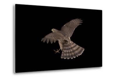 A Sharp-Shinned Hawk, Accipiter Striatus.-Joel Sartore-Metal Print