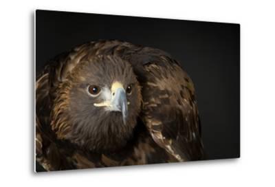 A Golden Eagle, Aquila Chrysaetos.-Joel Sartore-Metal Print