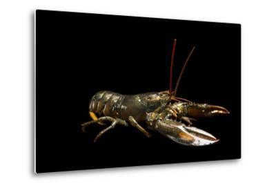 A Studio Portrait of an American Lobster, Homarus Americanus.-Joel Sartore-Metal Print