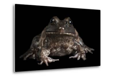 An American Bullfrog, Rana Catesbeiana.-Joel Sartore-Metal Print
