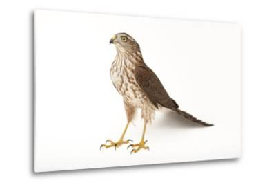 A Sharp-Shinned Hawk, Accipiter Striatus.-Joel Sartore-Metal Print
