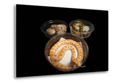 An Albino Burmese Python and Two Ball Python in Containers, Python Bivittatus, Python Regius.-Joel Sartore-Metal Print