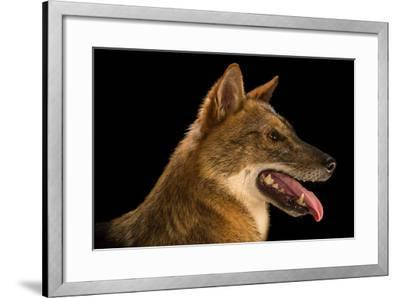 A Golden Jackal, Canis Aureus, at the Assam State Zoo.-Joel Sartore-Framed Photographic Print