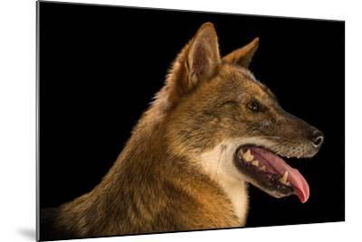 A Golden Jackal, Canis Aureus, at the Assam State Zoo.-Joel Sartore-Mounted Photographic Print