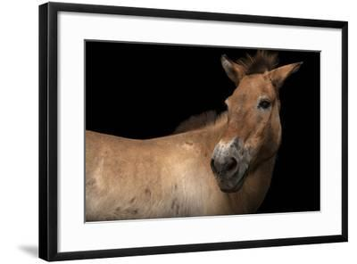 An Endangered Przewalski's Wild Horse, Equus Ferus Przewalskii, at the Gladys Porter Zoo.-Joel Sartore-Framed Photographic Print