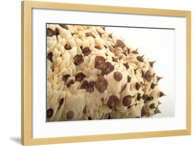 A Chocolate Chip Cucumber, Isostychopus Badonotus.-Joel Sartore-Framed Photographic Print