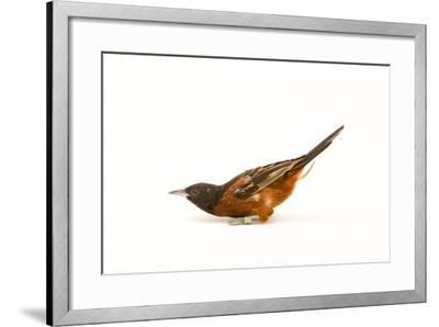 An Orchard Oriole, Icterus Spurius, at the Columbus Zoo.-Joel Sartore-Framed Photographic Print