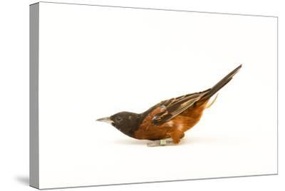 An Orchard Oriole, Icterus Spurius, at the Columbus Zoo.-Joel Sartore-Stretched Canvas Print