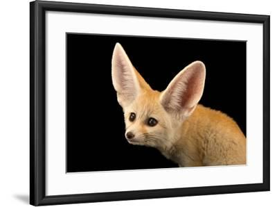 Three, Ten Week Old Fennec Fox Kits, Vulpes Zerda, at the Saint Louis Zoo.-Joel Sartore-Framed Photographic Print