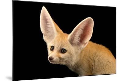 Three, Ten Week Old Fennec Fox Kits, Vulpes Zerda, at the Saint Louis Zoo.-Joel Sartore-Mounted Photographic Print