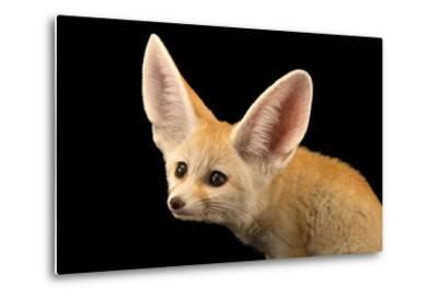 Three, Ten Week Old Fennec Fox Kits, Vulpes Zerda, at the Saint Louis Zoo.-Joel Sartore-Metal Print