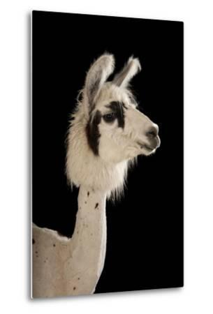 A Llama, Lama Glama, after a Recent Summer Haircut at the Lincoln Children's Zoo.-Joel Sartore-Metal Print
