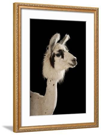 A Llama, Lama Glama, after a Recent Summer Haircut at the Lincoln Children's Zoo.-Joel Sartore-Framed Photographic Print
