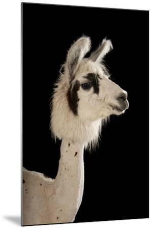 A Llama, Lama Glama, after a Recent Summer Haircut at the Lincoln Children's Zoo.-Joel Sartore-Mounted Photographic Print