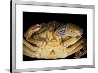 A Green Crab, Carcinus Maenas, in Seaside Park, New Jersey.-Joel Sartore-Framed Photographic Print