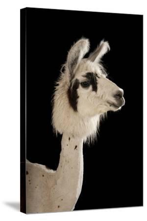 A Llama, Lama Glama, after a Recent Summer Haircut at the Lincoln Children's Zoo.-Joel Sartore-Stretched Canvas Print