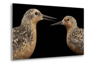 Red Knots, Calidris Canutus, a Species in Rapid Population Decline.-Joel Sartore-Metal Print