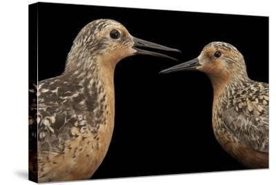 Red Knots, Calidris Canutus, a Species in Rapid Population Decline.-Joel Sartore-Stretched Canvas Print