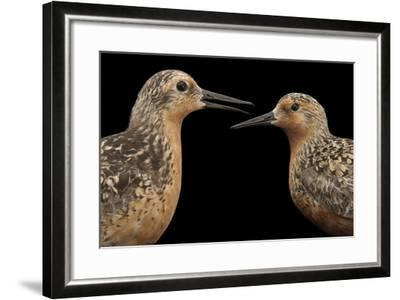 Red Knots, Calidris Canutus, a Species in Rapid Population Decline.-Joel Sartore-Framed Photographic Print