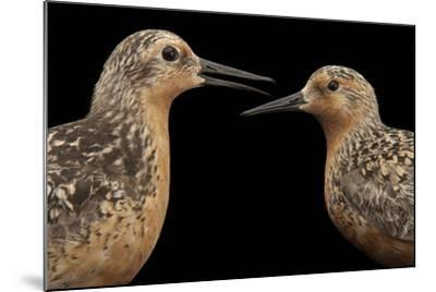 Red Knots, Calidris Canutus, a Species in Rapid Population Decline.-Joel Sartore-Mounted Photographic Print