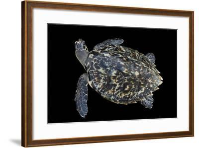 A Hawksbill Sea Turtle, Eretmochelys Imbricata, at Xcaret Park.-Joel Sartore-Framed Photographic Print