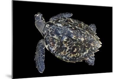 A Hawksbill Sea Turtle, Eretmochelys Imbricata, at Xcaret Park.-Joel Sartore-Mounted Photographic Print