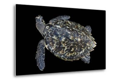 A Hawksbill Sea Turtle, Eretmochelys Imbricata, at Xcaret Park.-Joel Sartore-Metal Print