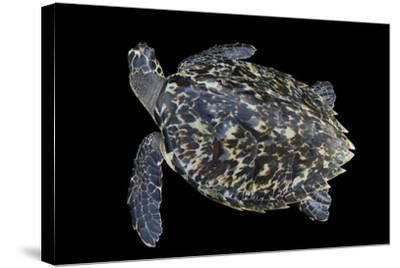 A Hawksbill Sea Turtle, Eretmochelys Imbricata, at Xcaret Park.-Joel Sartore-Stretched Canvas Print