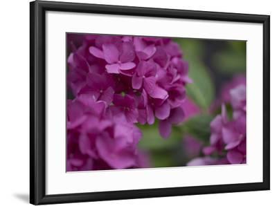 Pink Hydrangeas I-Rita Crane-Framed Photographic Print