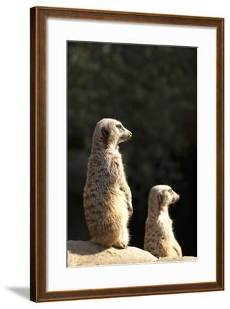 Meerkats-Karyn Millet-Framed Photographic Print