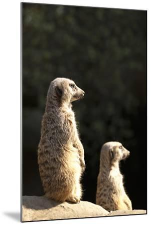 Meerkats-Karyn Millet-Mounted Photographic Print