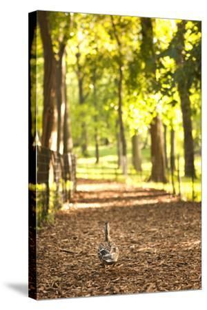 Duck Walk-Karyn Millet-Stretched Canvas Print