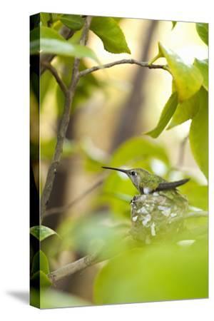 Hummingbird-Karyn Millet-Stretched Canvas Print