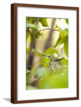 Hummingbird-Karyn Millet-Framed Photographic Print